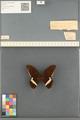Media of type image, MCZ:Ent:213005 Identified as Papilio polytes ledebouria.