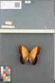 http://mczbase.mcz.harvard.edu/specimen_images/ent-lepidoptera/images/2014_08_13/IMG_175944.JPG