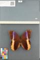 http://mczbase.mcz.harvard.edu/specimen_images/ent-lepidoptera/images/2014_08_13/IMG_175959.JPG