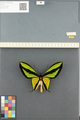 http://mczbase.mcz.harvard.edu/specimen_images/ent-lepidoptera/images/2014_08_13/IMG_175967.JPG