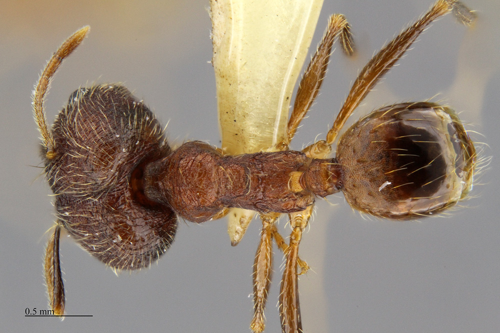 Image of Pheidole tenuinodis