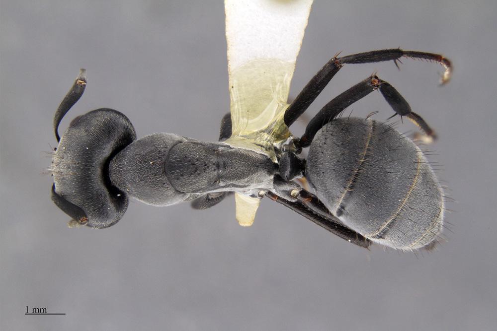 Image of Camponotus eugeniae