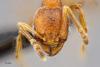 Media of type image, MCZ:Ent:512170 Identified as Pheidole katonae cf.. . Aspect: head frontal