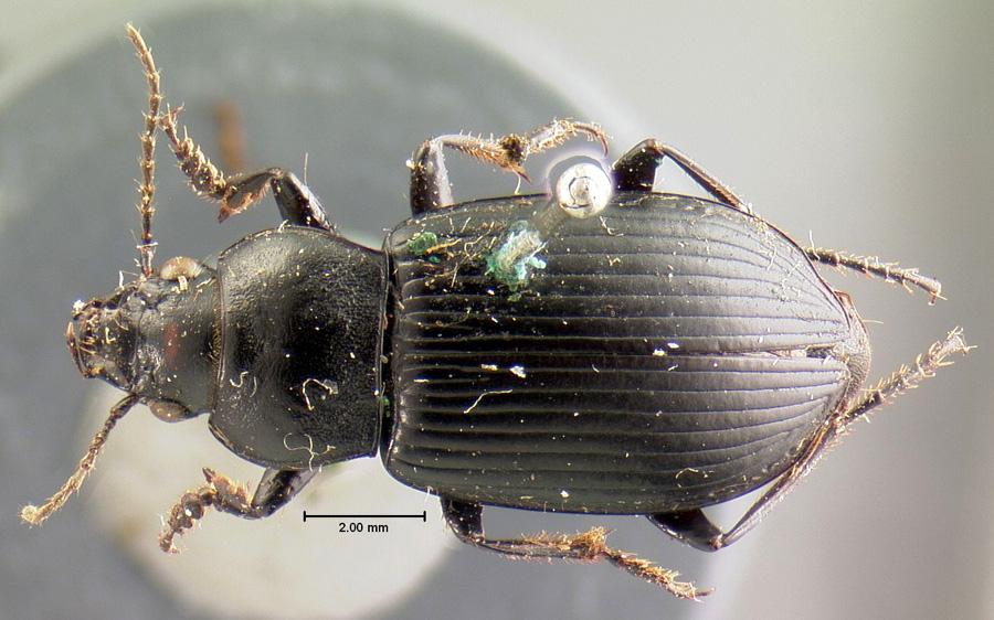 Image of Anisodactylus consobrinus