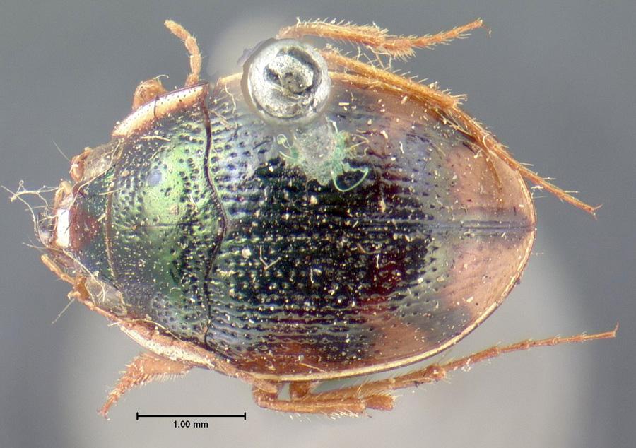 Image of Omophron nitidum