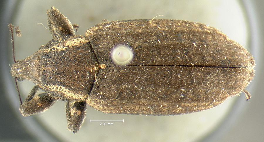 Image of Listronotus americanus