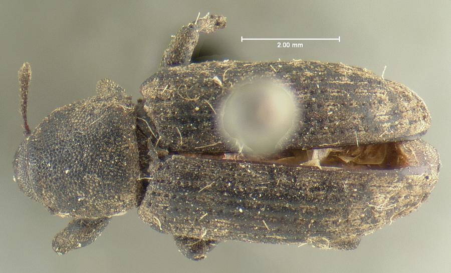 Image of Listronotus nebulosus
