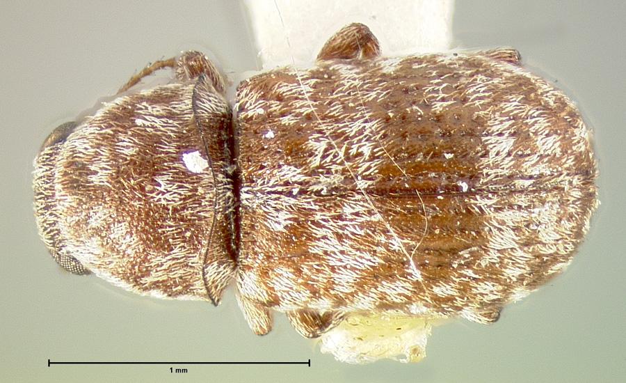 Image of Ormiscus saltator
