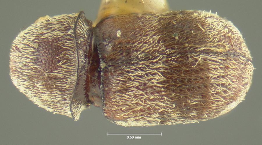 Image of Ormiscus fasciatus