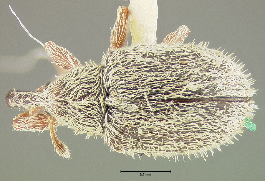 Image of Anthonomus heterogenus