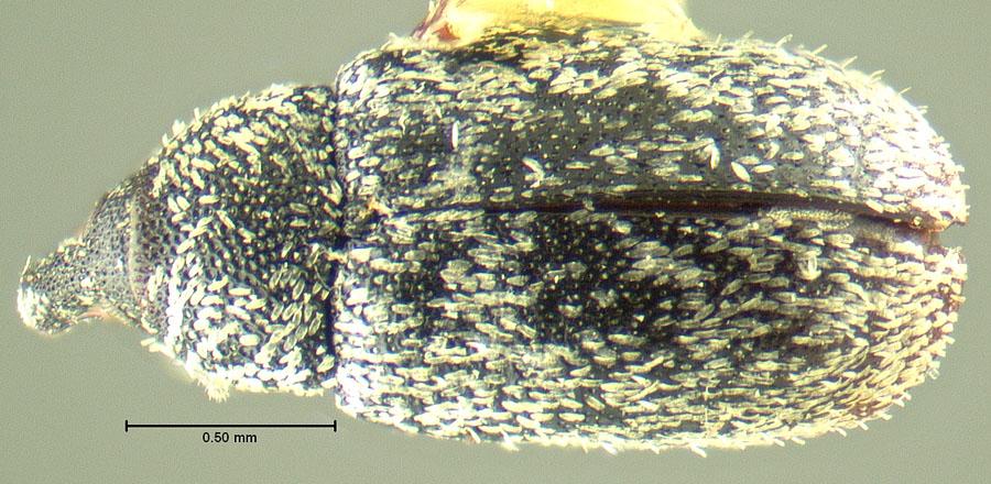 Image of Macrorhoptus hispidus