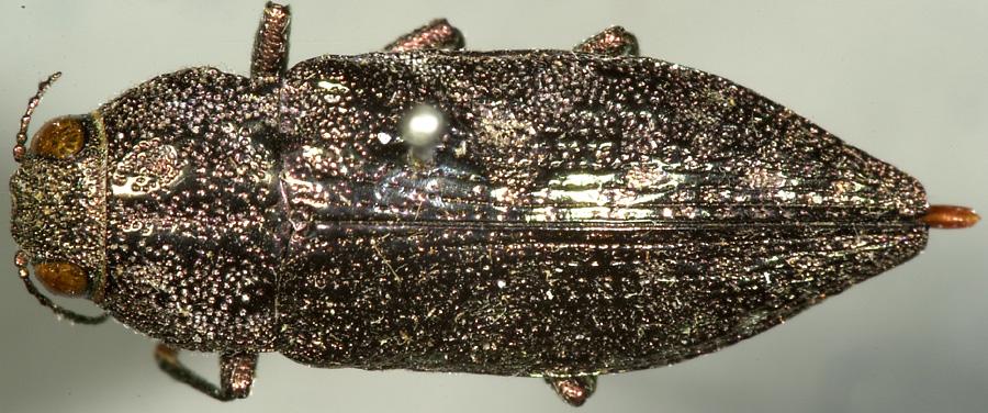 Media of type image, MCZ:Ent:2664 Identified as Dicerca mutica type status Holotype of Dicerca mutica. . Aspect: habitus dorsal view
