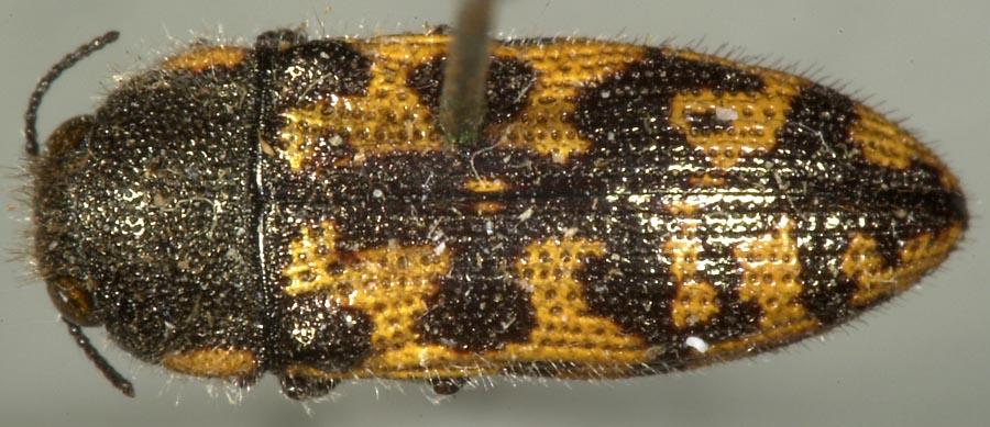 Image of Acmaeodera variegata