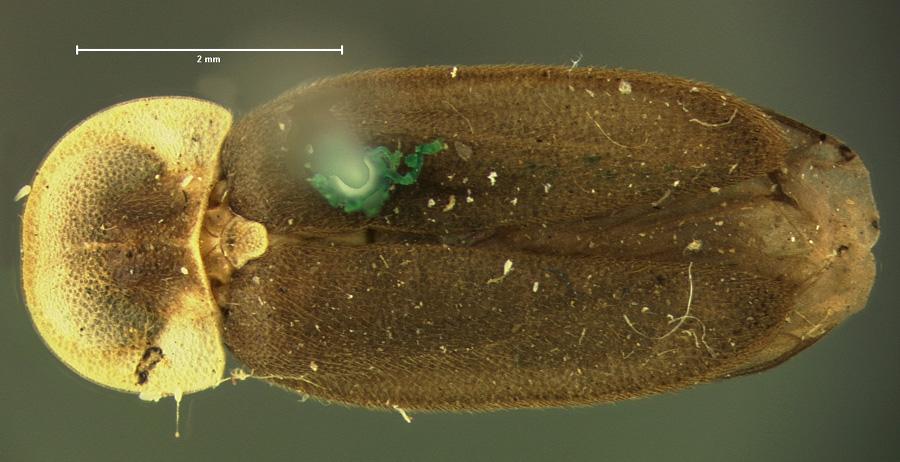 Microphotus dilatatus image
