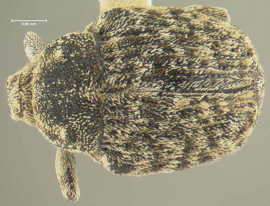 Image of Acanthoscelidius californicus