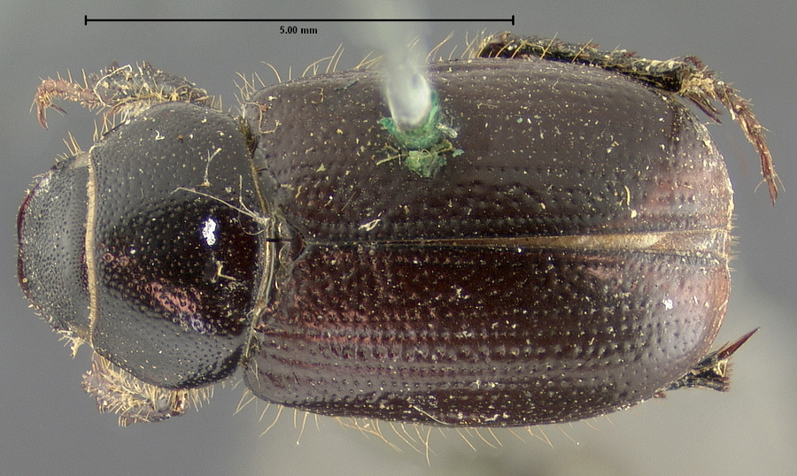 Image of Diplotaxis subangulata
