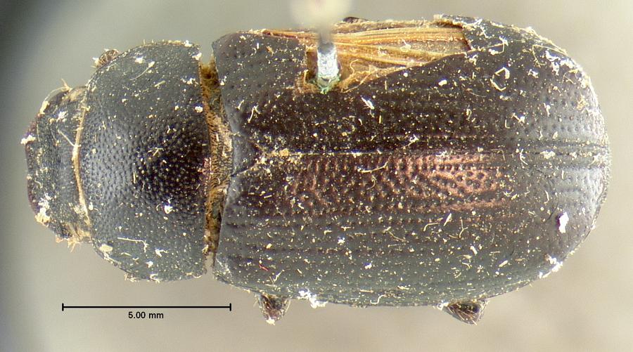 Image of Diplotaxis moerens