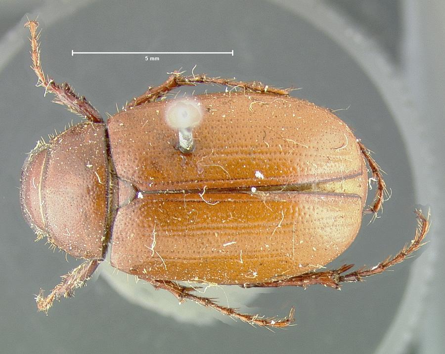 Image of Diplotaxis haydenii