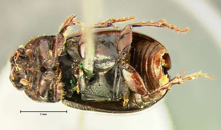 Agoliinus anthracus image