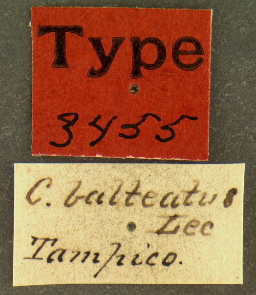 Media of type image, MCZ:Ent:3455 Identified as Collops balteatus type status Syntype of Collops balteatus. . Aspect: labels