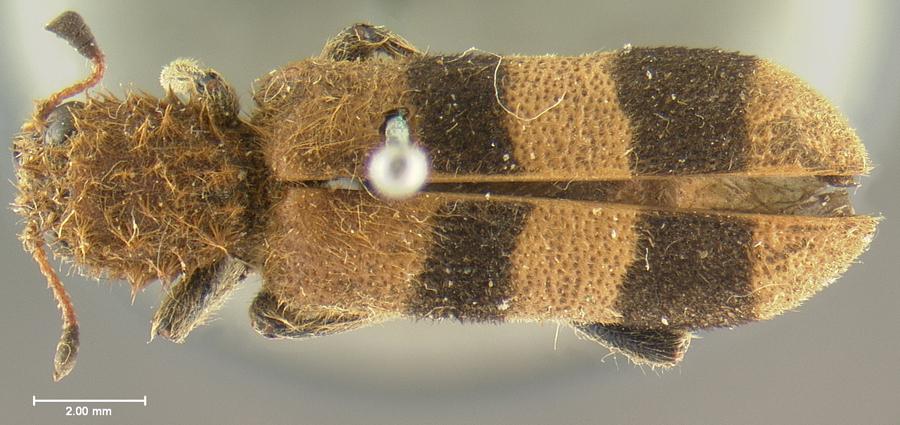 Media of type image, MCZ:Ent:3545 Identified as Trichodes bibalteatus type status Holotype of Trichodes bibalteatus. . Aspect: habitus dorsal view