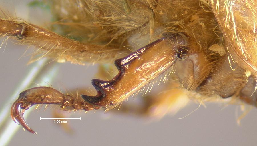 Image of Cyclocephala hirta