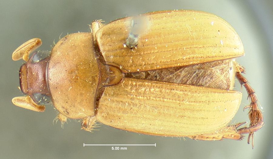 Image of Anomala cavifrons