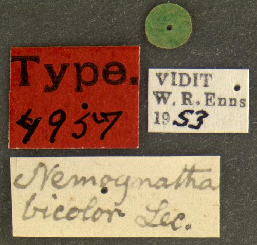 Image of Nemognatha bicolor