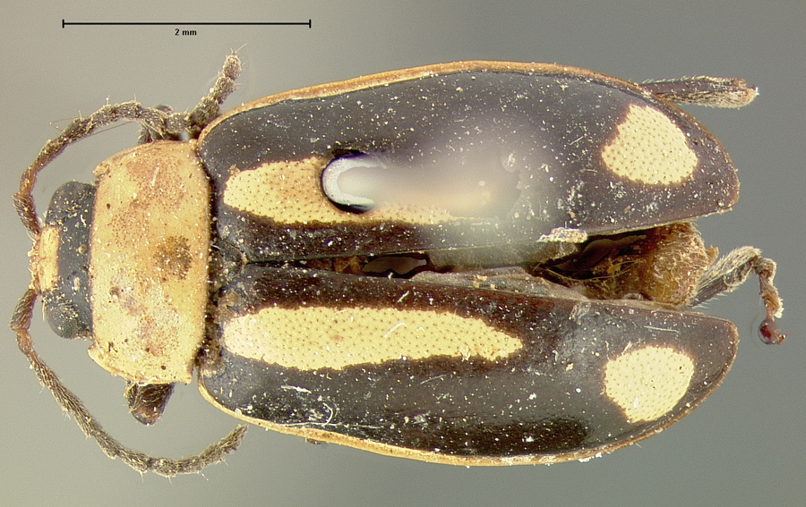 Media of type image, MCZ:Ent:5029 Identified as Oedionychis interjectionis type status Syntype of Oedionychis interjectionis. . Aspect: habitus dorsal view
