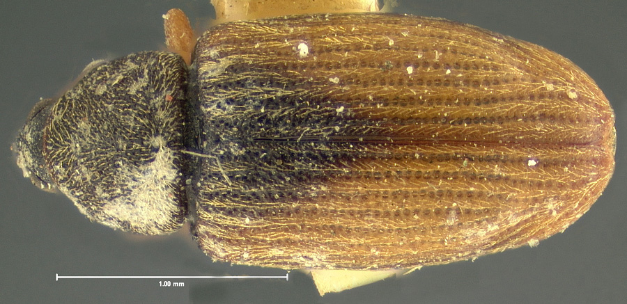 Image of Phyllotrox nubifer