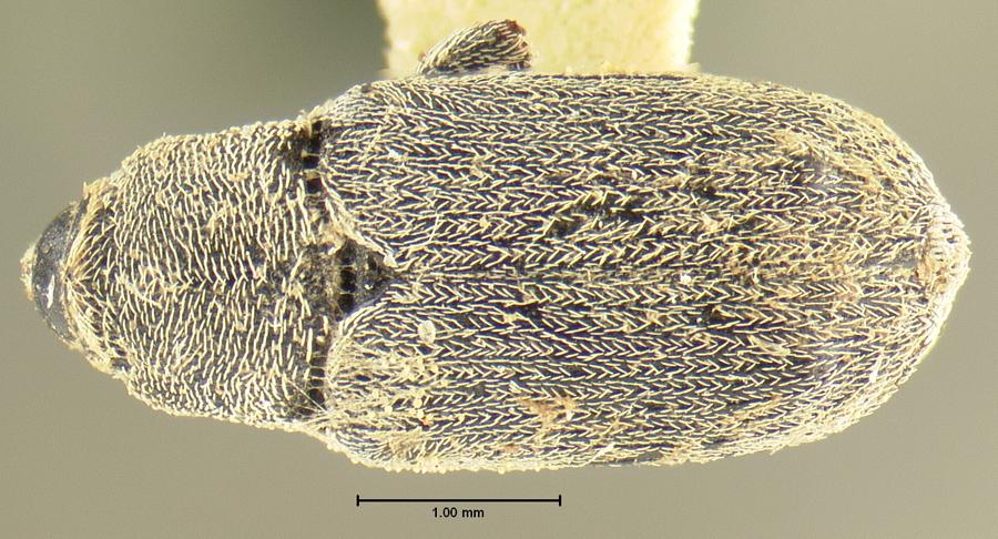 Image of Trichobaris mucorea
