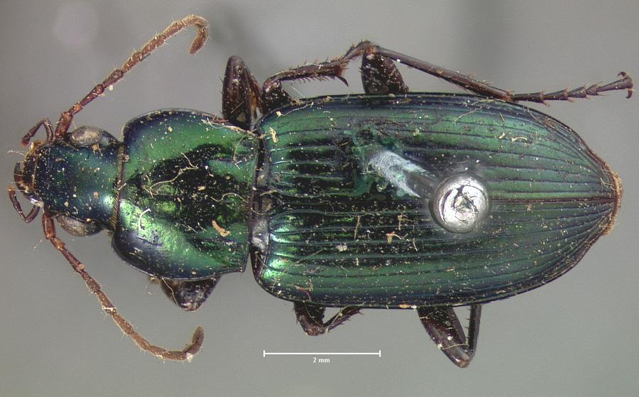 Image of Poecilus scitulus