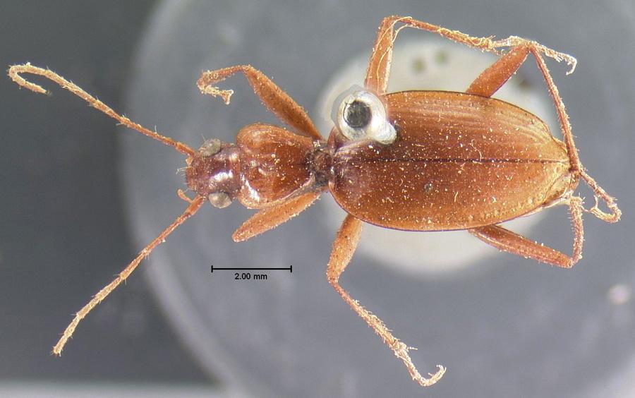Image of Rhadine larvalis