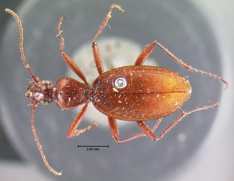 Image of Rhadine dissecta