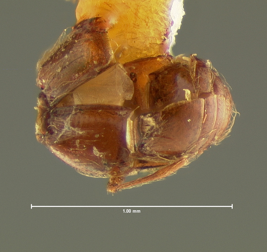 Image of Decarthron formiceti