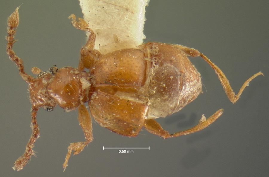 Image of Arthmius globicollis
