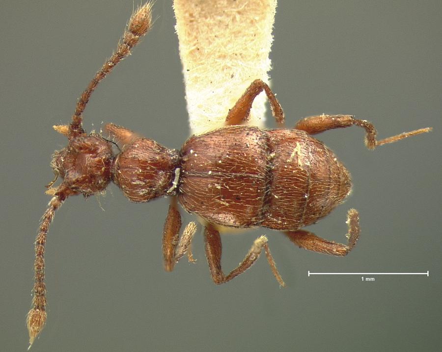 Image of Batriasymmodes monstrosus