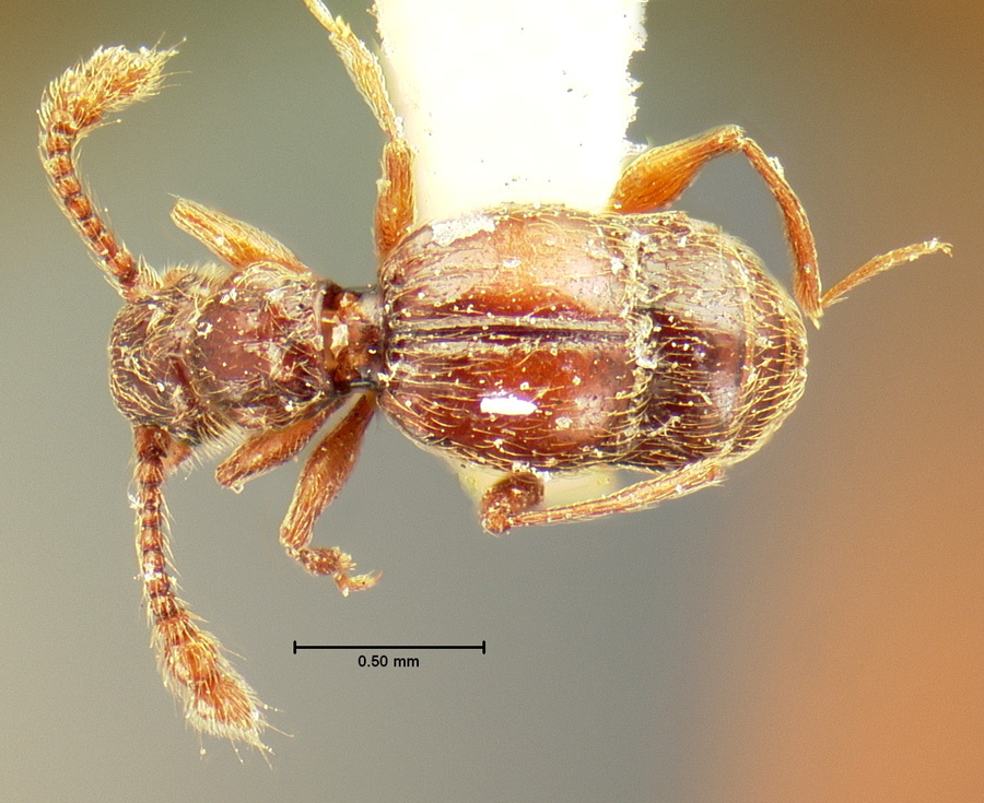 Image of Batrisodes lineaticollis
