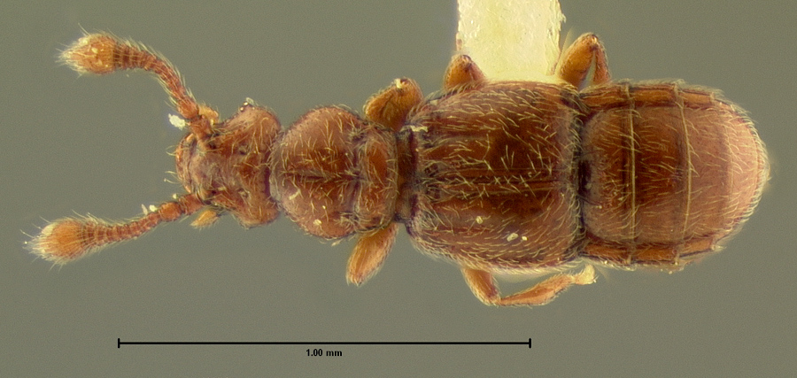 Image of Eutyphlus similis