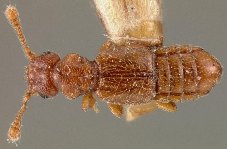 Image of Euplectus confluens