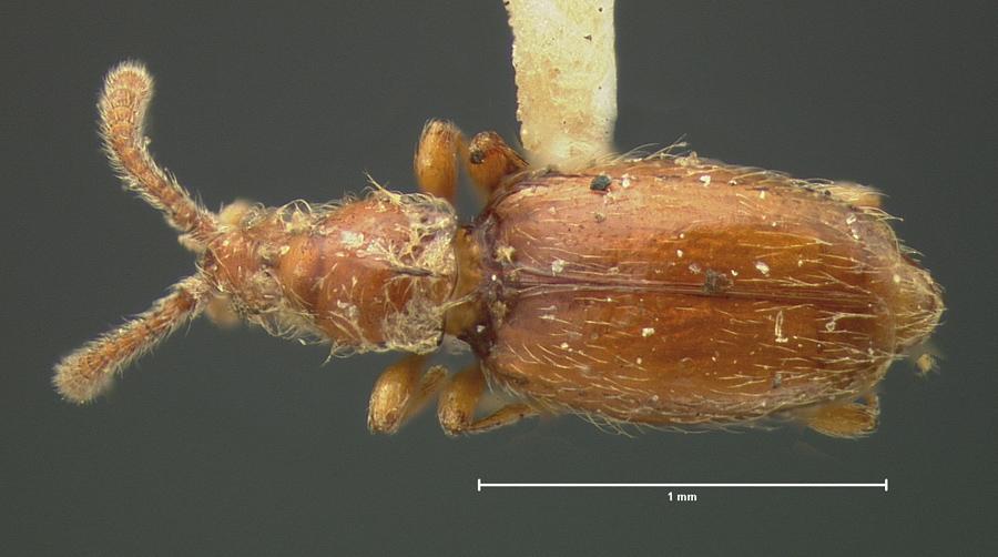 Image of Chevrolatia amoena