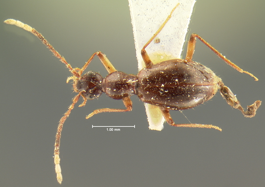 Image of Brathinus varicornis