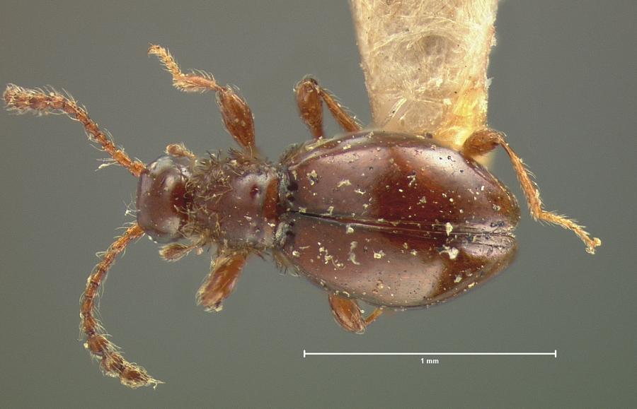 Image of Euconnus salinator