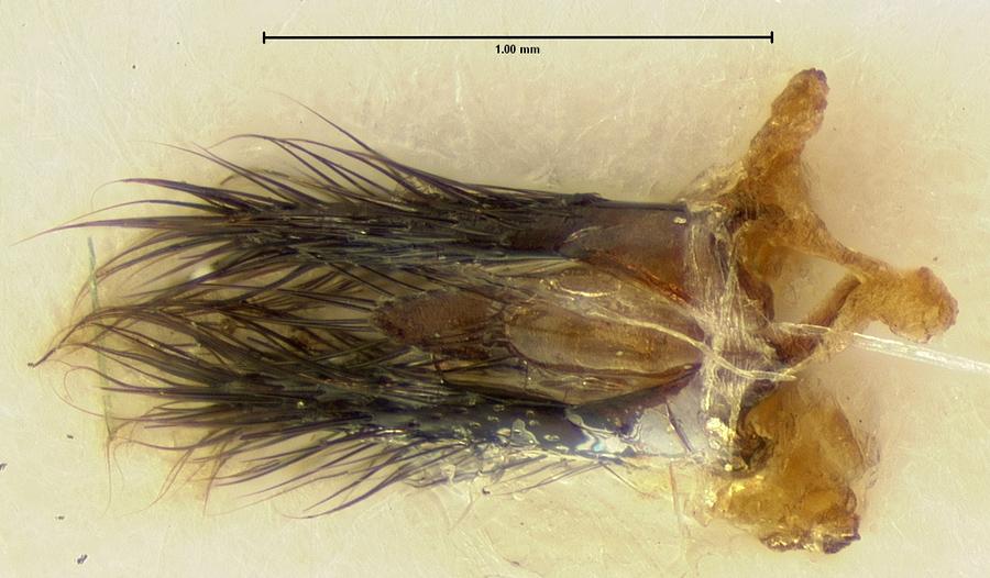 Image of Acylophorus gilensis