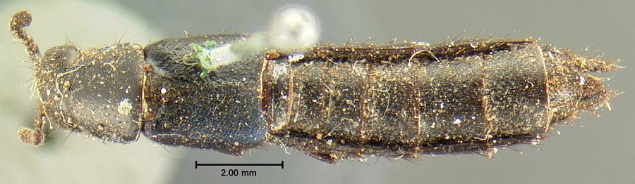 Media of type image, shows cataloged_item. MCZ:Ent:6273 Identified as Trigonophorus subcoeruleus type status Lectotype of Trigonophorus subcoeruleus| Syntype of Trigonophorus subcoeruleus| Lectotype of Trigonophorus subcoeruleus. . Aspect: habitus dorsal view