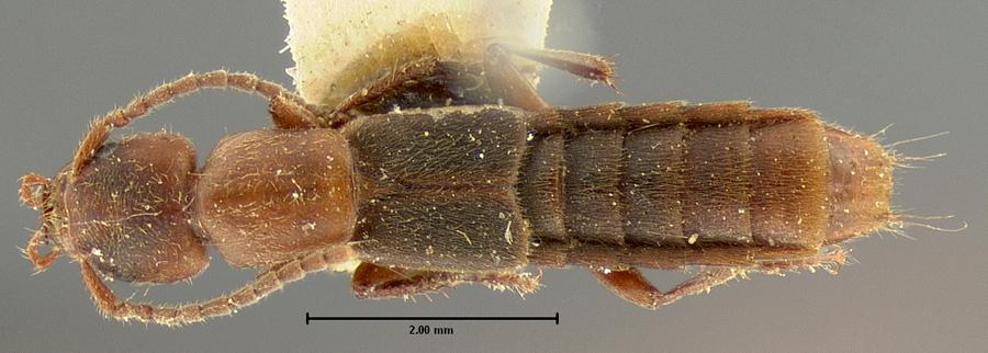 Image of Cafius opacus