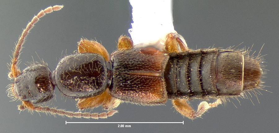 Image of Lathrobium nitidulum
