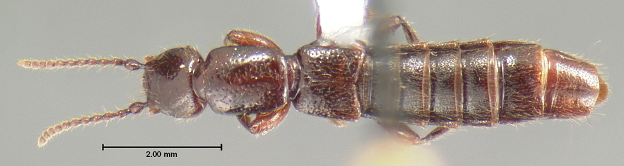 Image of Lathrobium brevipenne