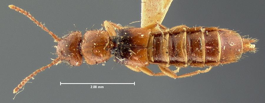 Image of Dacnochilus laetus