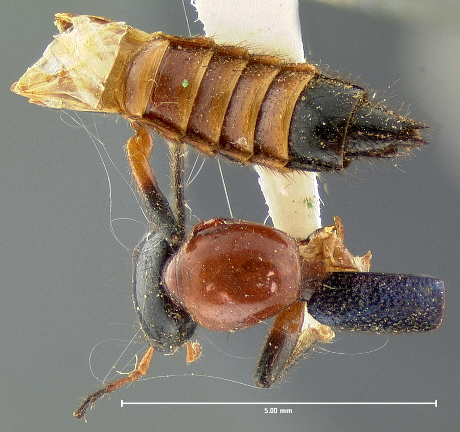 Image of Paederus femoralis